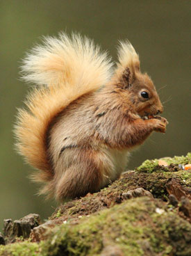 © Sarah McNeil - Penrith & District Red Squirrel Group