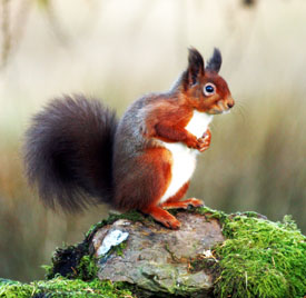 © Paul Bassindale - Brampton & District Red Squirrel Group