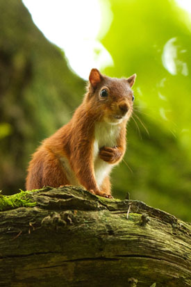 © Dave Hall - Brampton & District Red Squirrel Group
