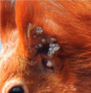 Leprosy on a red squirrel's ear