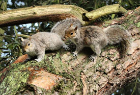 American Grey Squirrels