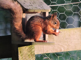 © Wendy Box - Solway Red Squirrel Group