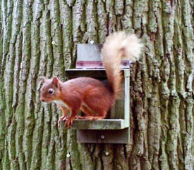 © Peat Grave - Solway Red Squirrel Group