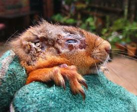 Symptoms of Squirrel Pox Virus