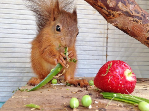 Maybelle - Red squirrel rescued by Penrith & District Red Squirrel Group