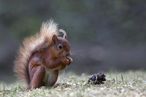 Red Squirrel copyright Steve Wrightson (2) small